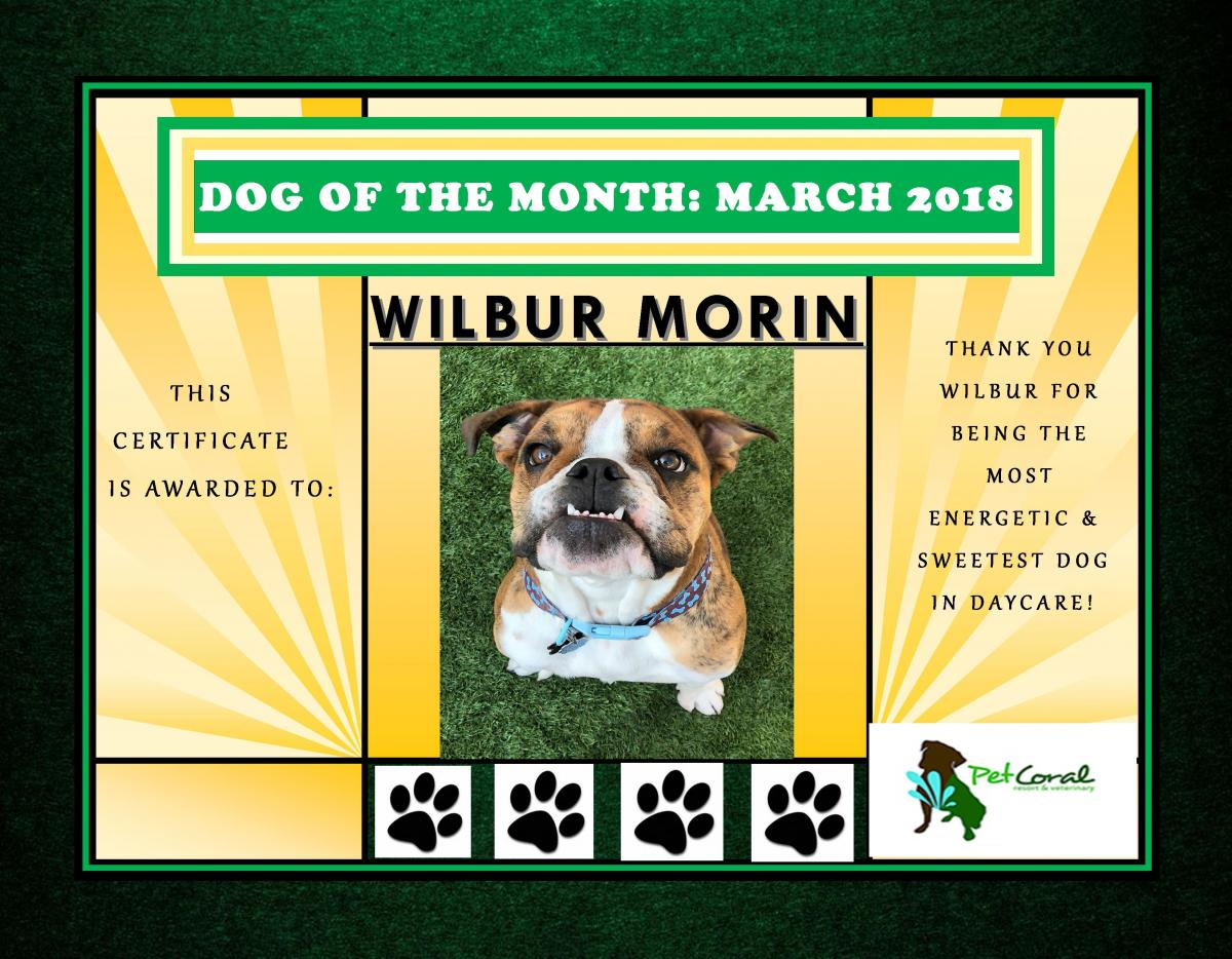 DOG OF THE MONTH- MARCH 2018 (WILBUR)